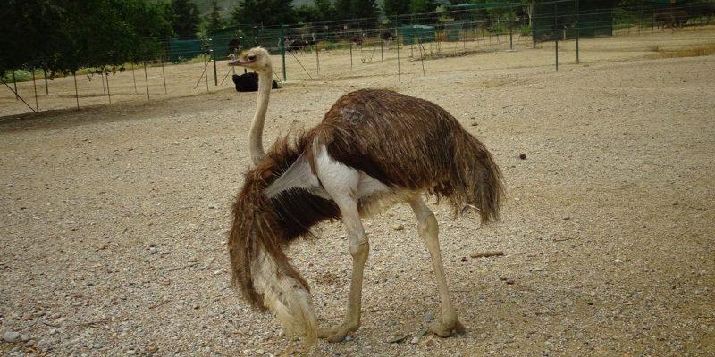 Ostrich Farm Rhodes